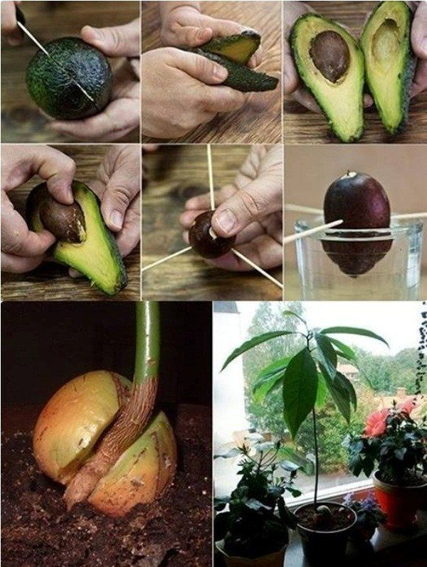 comment faire pousser un avocatier plante avocado tree growing an avocado tree et garden. Black Bedroom Furniture Sets. Home Design Ideas