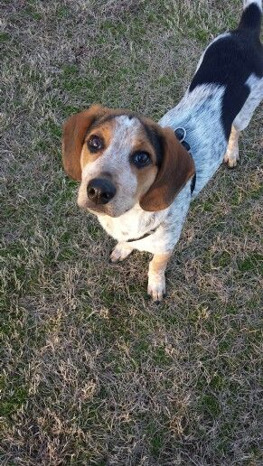 Beagle Cattle Dog Mix Cattle Dogs Mix Dog Mixes Cattle Dog
