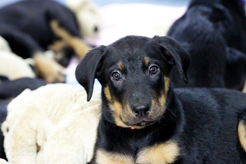 8 Woche Beauceron Welpen E Wurf Der Abschied Naht Bio Tiernahrung Fur Hunde Und Katzen Welpen Hund Und Katze Tiere