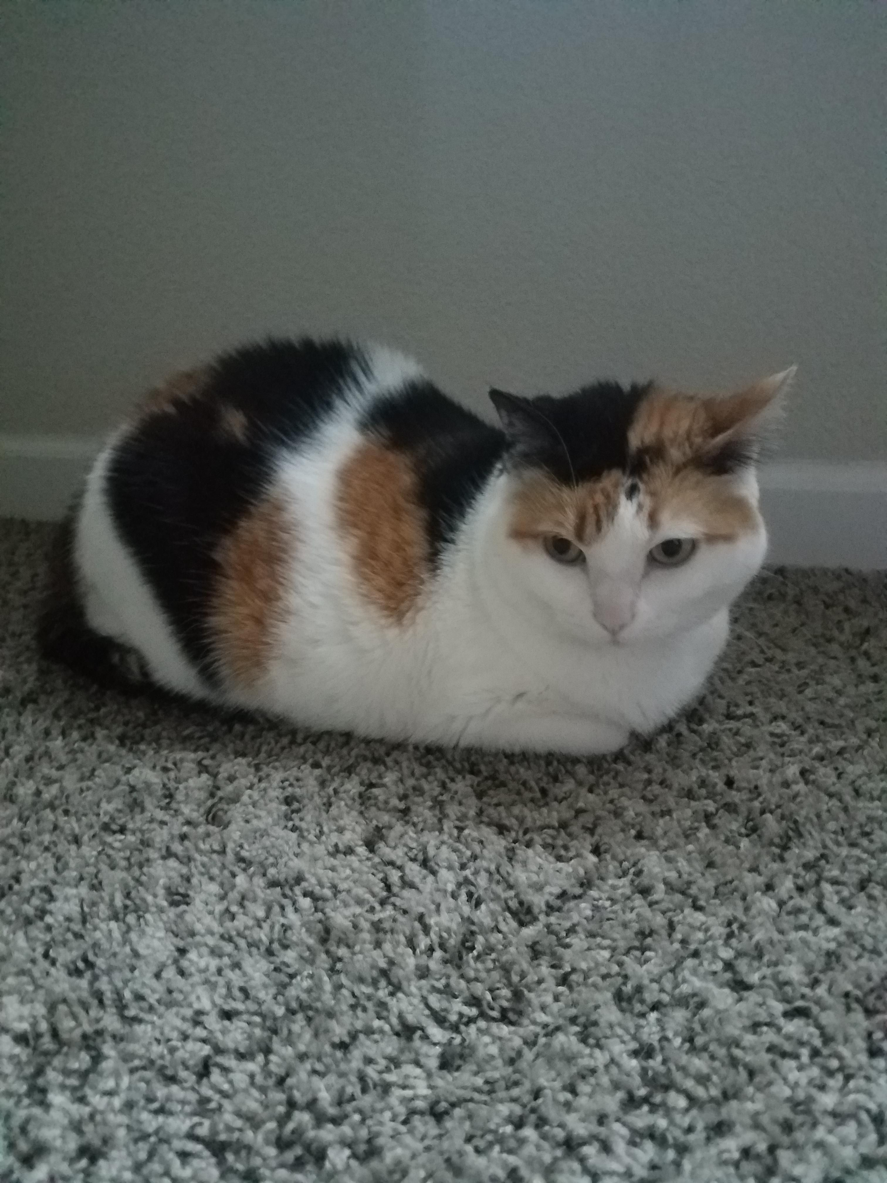 Disturbed Loaf Meow Moe Calico Cat Beautiful Cats Cats