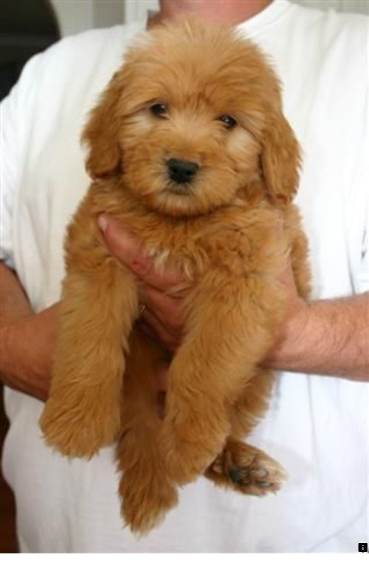Pin by Pargins on toy goldendoodles Goldendoodle puppy