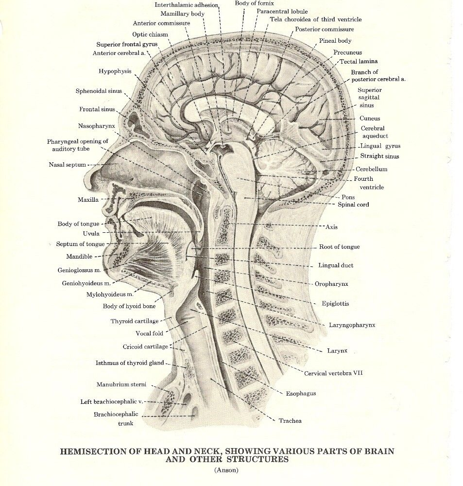 Hemisection of Head and Neck | Medical Illustrations | Pinterest ...