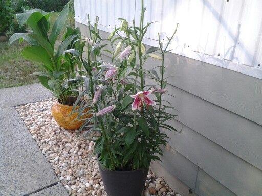 Stargazer lillies my favorite!