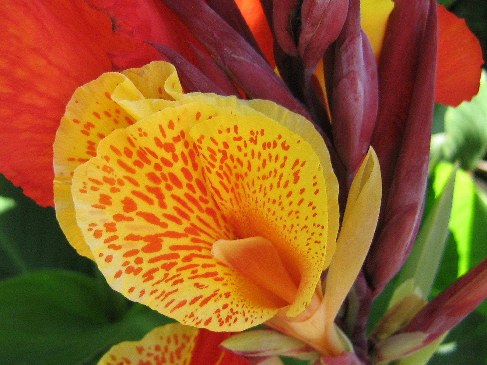 Yellow Red Canna Flower