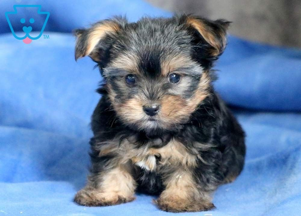 Leo yorkshire terrier puppy for sale keystone puppies