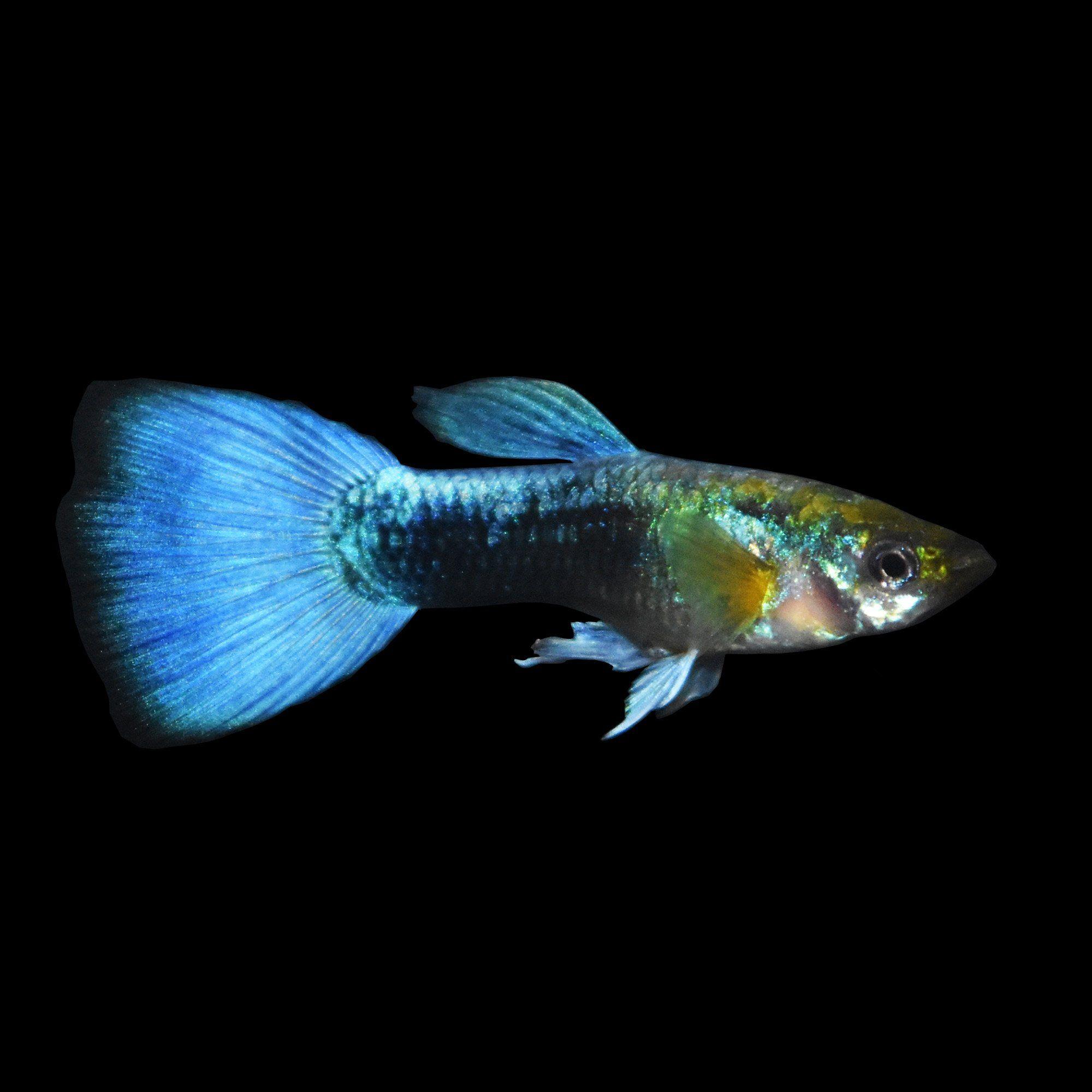 Male Blue Neon Guppies For Sale Order Online Petco Saltwater Aquarium Fish Aquarium Fish Guppy