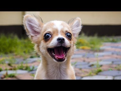 20 Funny Chihuahuas Try Not To Laugh Challenge YouTube