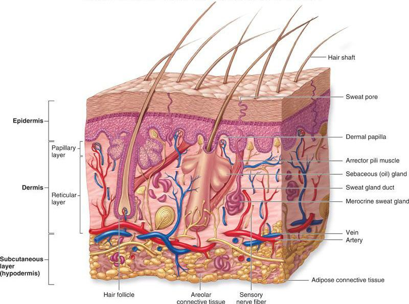 Layers of the Integument   A&P   Pinterest