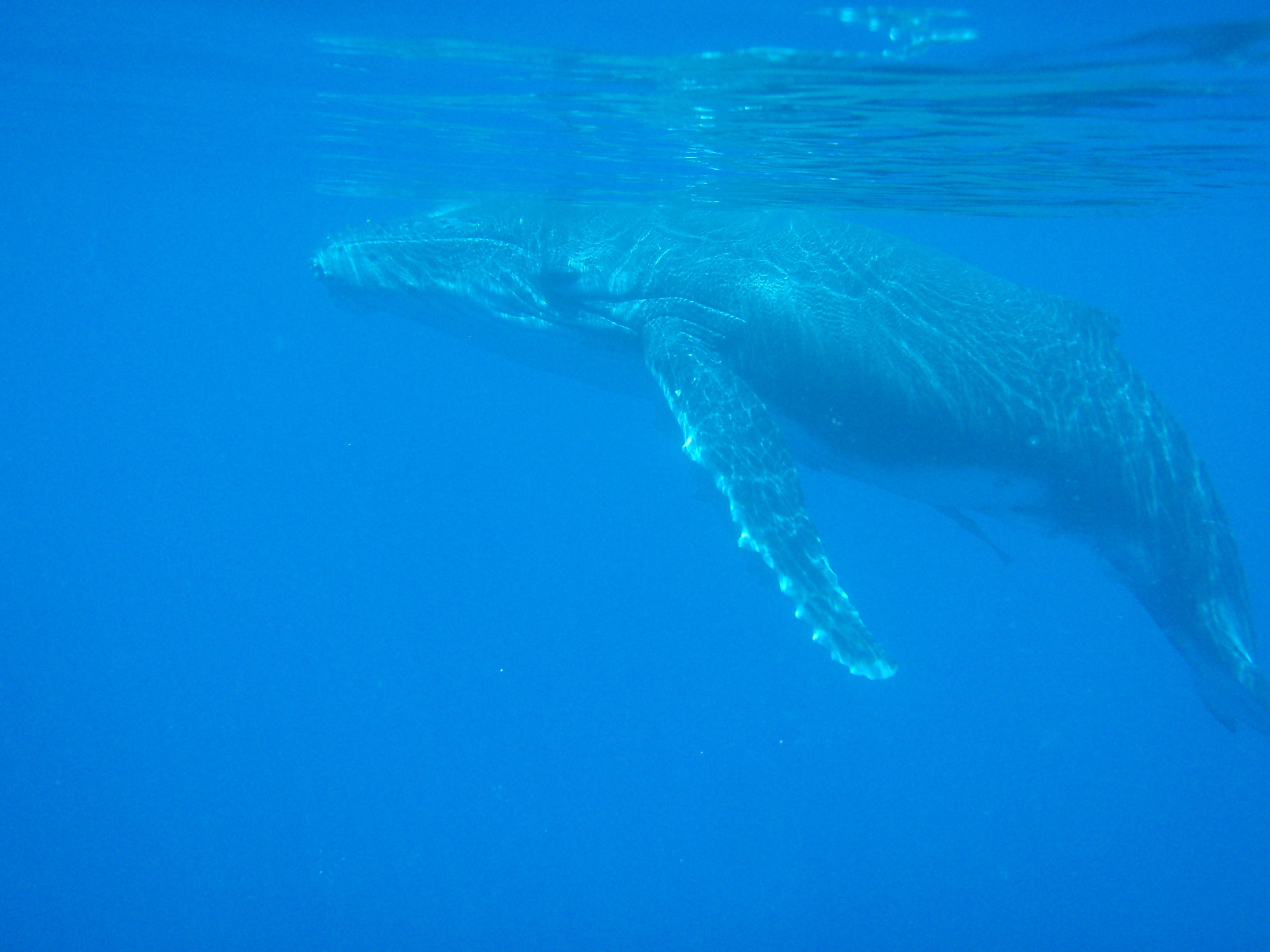 How to go Swimming with Whales in Tonga