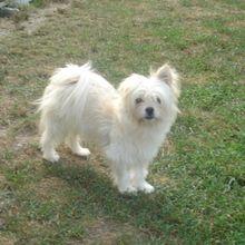 Maltipom Puppies For Sale Dog Breeder Puppies