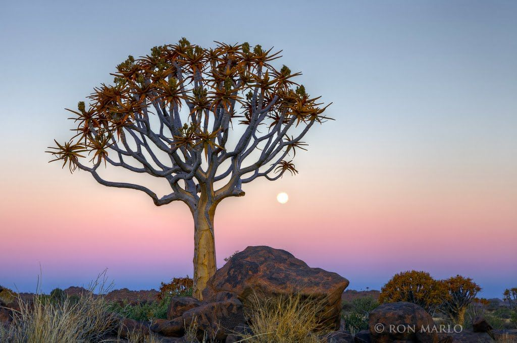 Kokerboom, Quiver Tree, Köcherbaum & Moon - before sunrise