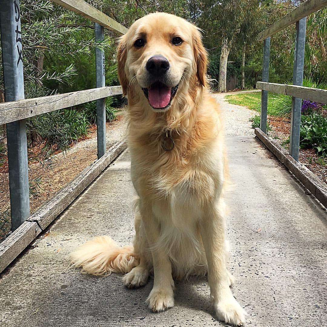 I love my walks golden retriever big dogs dog activities