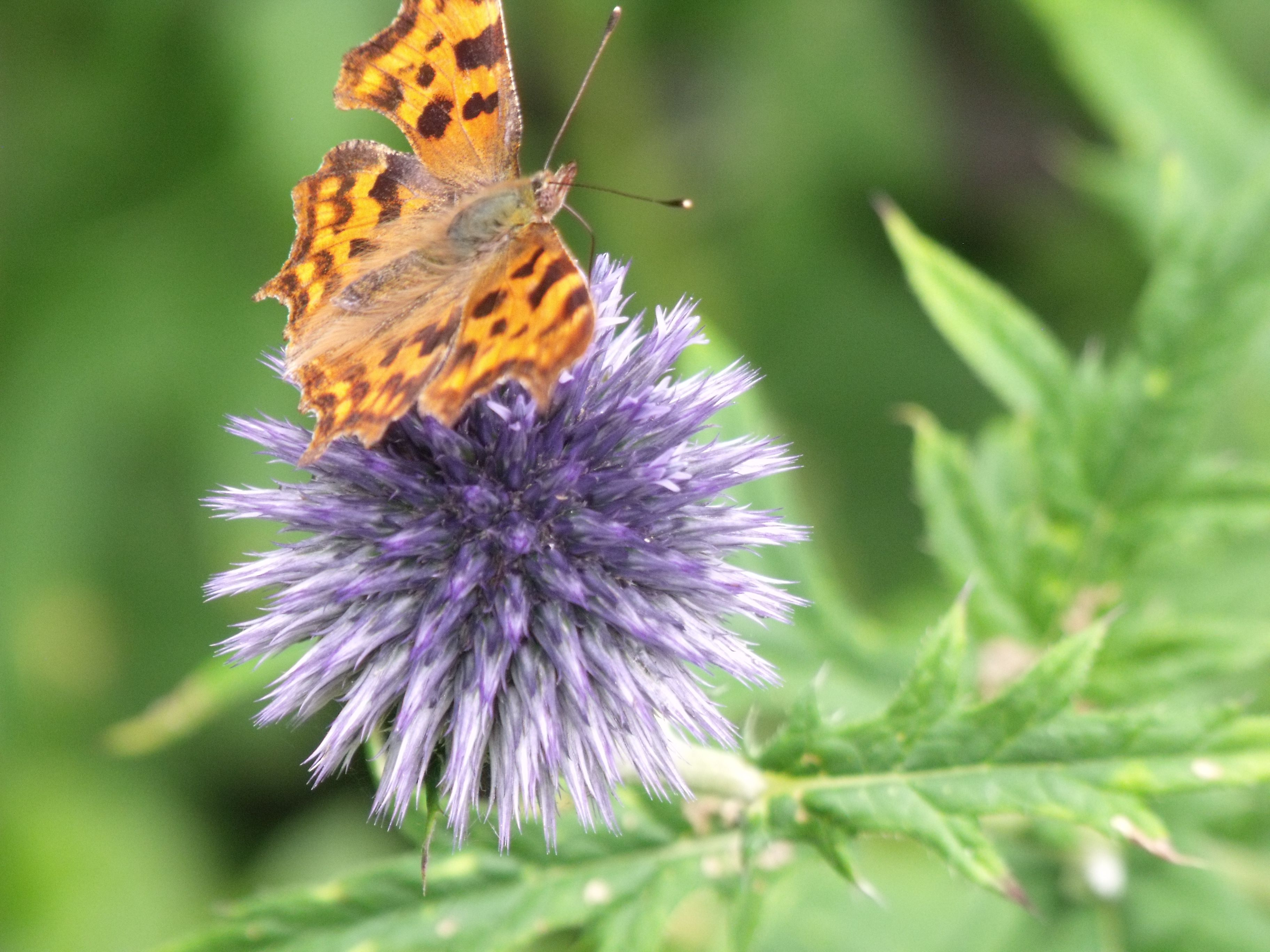 Echinops and butterfly