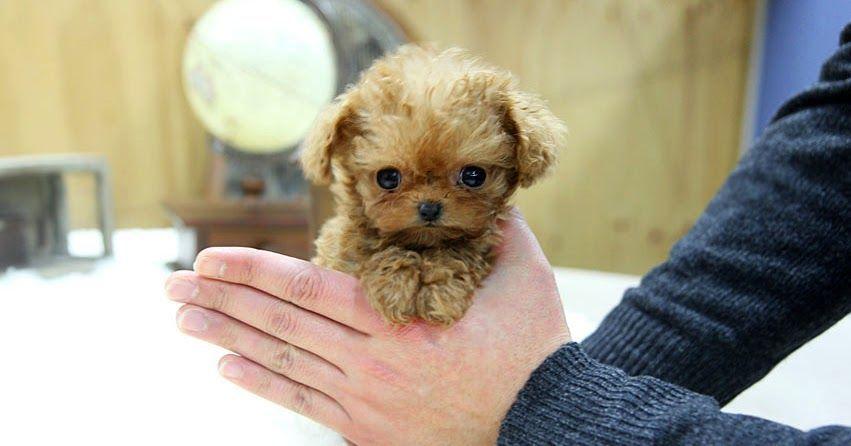 Poodle Dogs Teacup Puppy For Sale Special Teacup Poodle Gretel