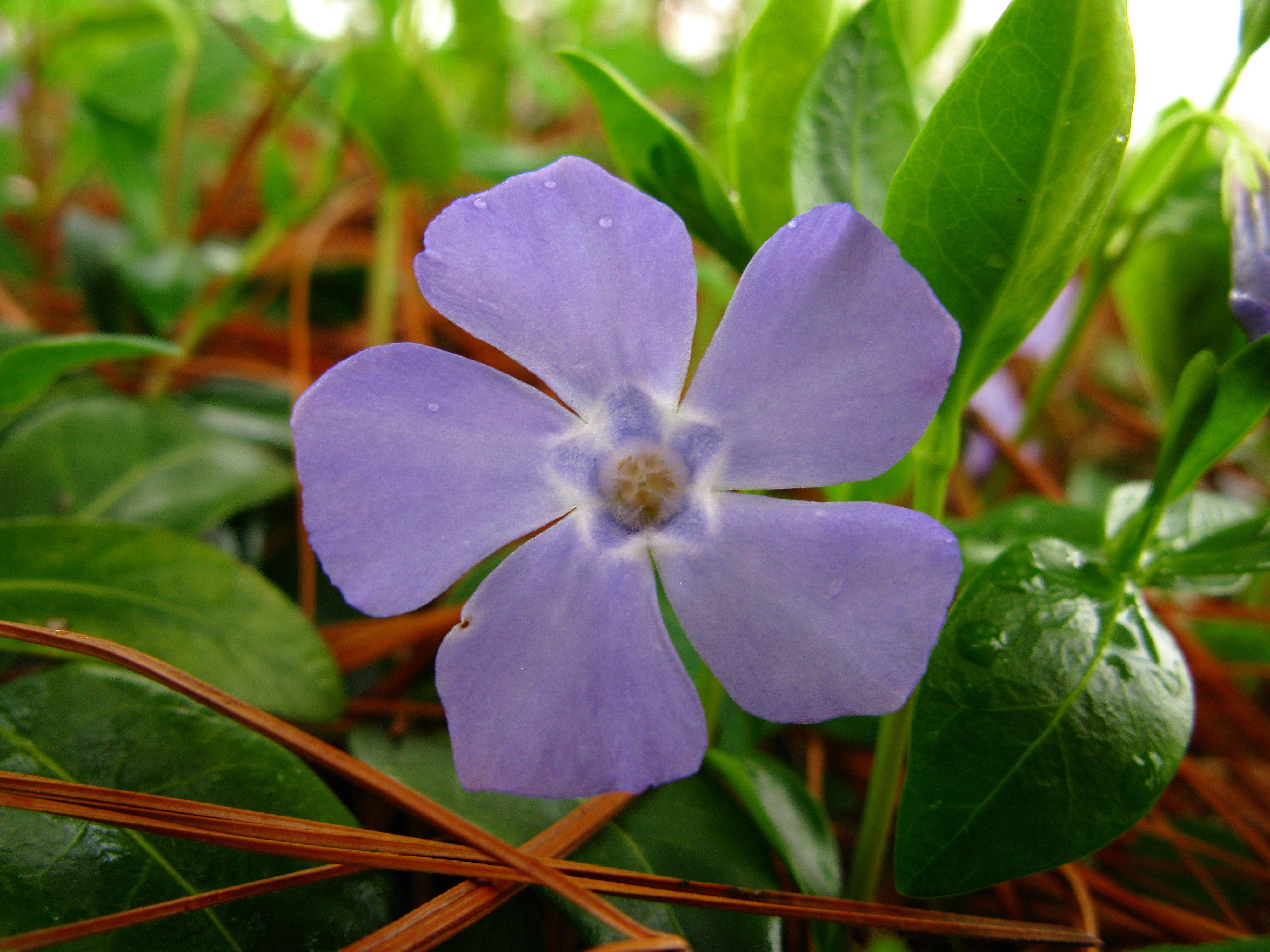 Periwinkle blue fileperiwinkle lavender blue macro spring flower periwinkle blue fileperiwinkle lavender blue macro spring flower west virginia mightylinksfo
