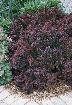 Concorde Dwarf Barberry Globe Slow Growing Sun To Light Shade 18 X18 Prune In Late Winter