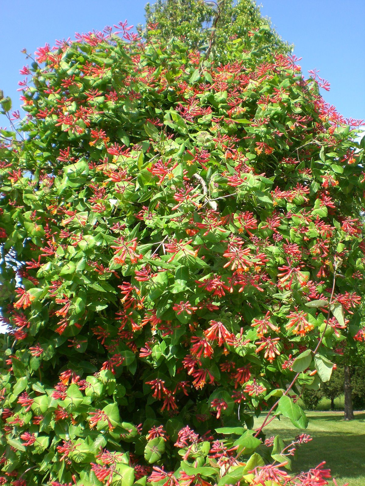 Honeysuckle Vine Arbor at entrance to gardens. 11237 N. McDonald Rd.  Centralia, Mo.