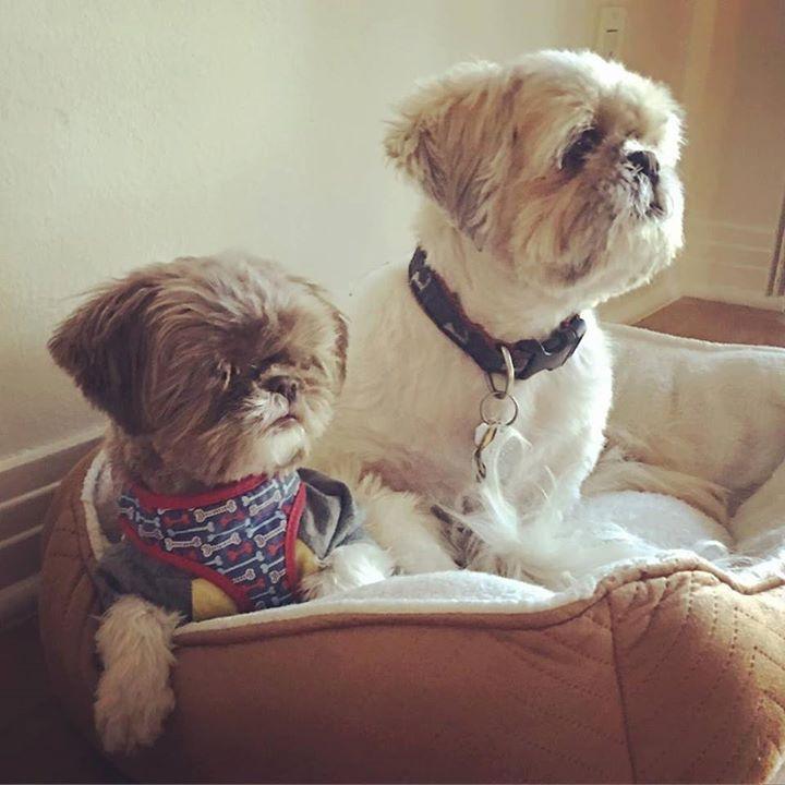 Strike a pose....Vogue vogue vogue  #shihtzus #shihtzu #shihtzugram #shihtzusofinstagram #shihtzulovers #instashihtzu #instagramdogs #shihtzusofig #instadogs #cutedogsofinstagram #cutedogs #bros #buddies #pals #littledog #smalldogsofinstagram #smalldog #dog #dogs #dogstargram #dogsofig #dogsofinsta #dogsofinstaworld #adorable #adorabledog #furkids #furbabies #mybabies #mylittleguy #fluffydog  by californiashihtzu  http://bit.ly/teacupdogshq
