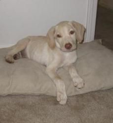 Adopt Denver On Dogs Golden Retriever Golden Retriever Labrador