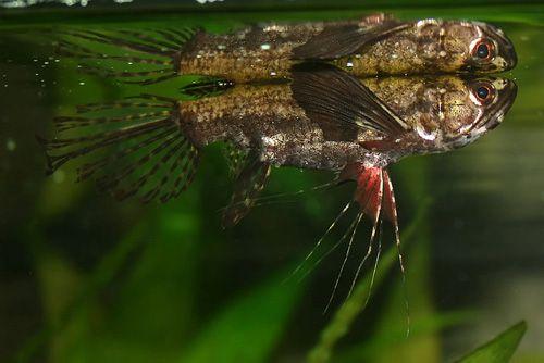 Pantodon Buchholzi African Butterfly Fish Tropical Fish Aquarium Fish Aquarium Fish