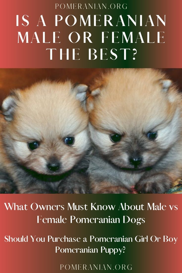 What Owners Must Know About Male Vs Female Pomeranian Dogs