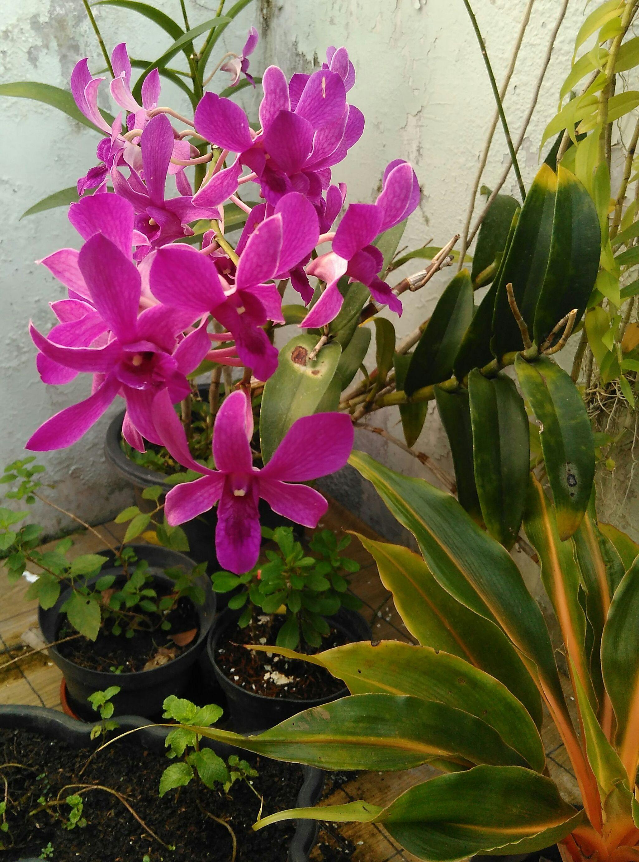 Bunga Tropis Perennial Anggrek Dendrobium Orchid Jenis Ini