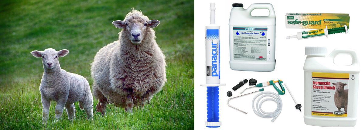Our Sheep Wormer Guide Covers Everything You Need To Know About Deworming Sheep When How Often Should You Be Worming Sheep We Review The Best Sheep Wormer