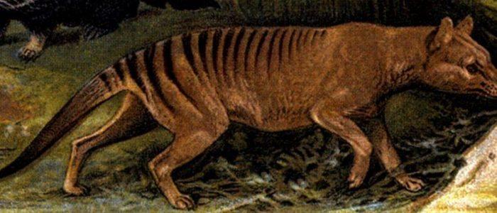 Tigre De Tasmania El Marsupial Que Era Depredador 2020 Tigre De Tasmania Tasmania Lobo De Tasmania