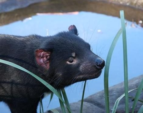 Tasmanian Devils are a fierce animal that are related to the Tasmanian Tiger.