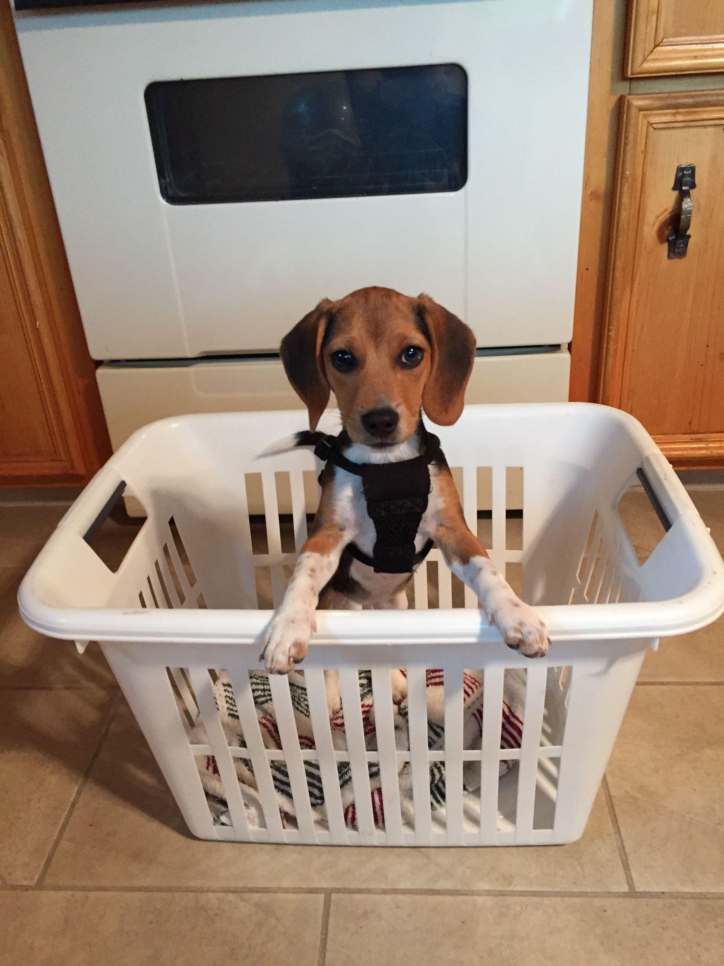 Beagle Mix Lilly The Queen Elizabeth Pocket Beagle Rockin Laundry