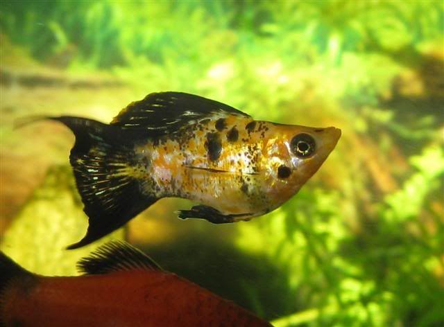 Balloon Mollie Fish Platy Fish Tropical Fish