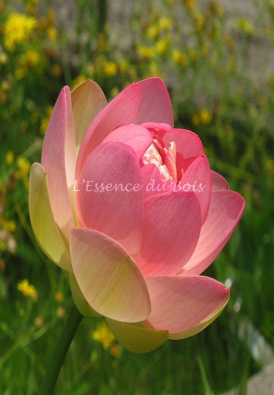 Lotus Deau Penses Sur Lart Et Photos Par Cline Dubord