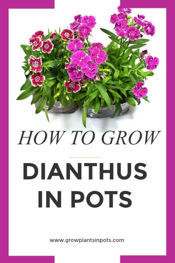 How To Grow Dianthus Plants In Pots Plants Dianthus 400 x 300