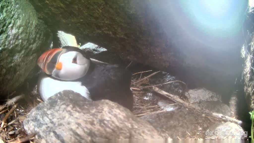 Mama puffin, taking care of puffling