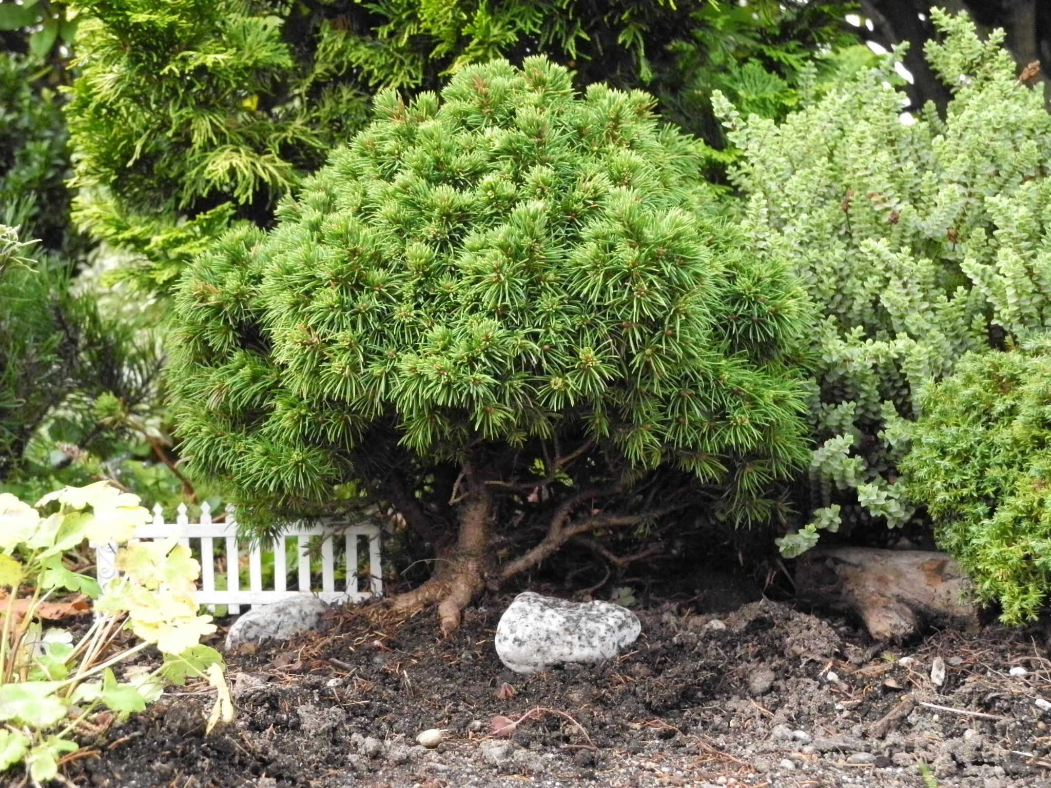 How to add authenticity to your miniature or fairy garden - growing miniature trees that look like ... trees! - tips and species to use