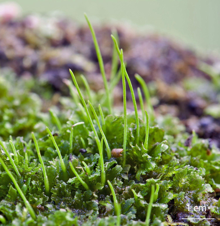 Antroceros punctatus agrestis hornworts
