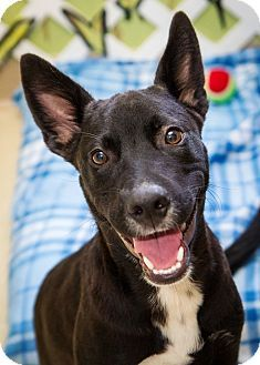 Rosemount Mn Pharaoh Hound Labrador Retriever Mix Meet Rudy A