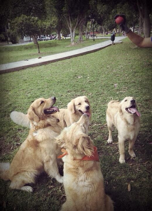 Http Www Totallygoldens Com With Images Dogs