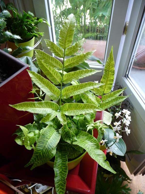 coniogramme emeiensis ferns underplanting pinterest foug re bambou et paris. Black Bedroom Furniture Sets. Home Design Ideas