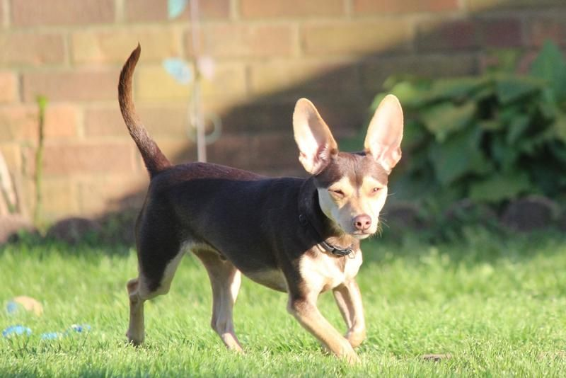 Adopt Bandit on   Makes Me Happy   Chihuahua dogs, Dogs