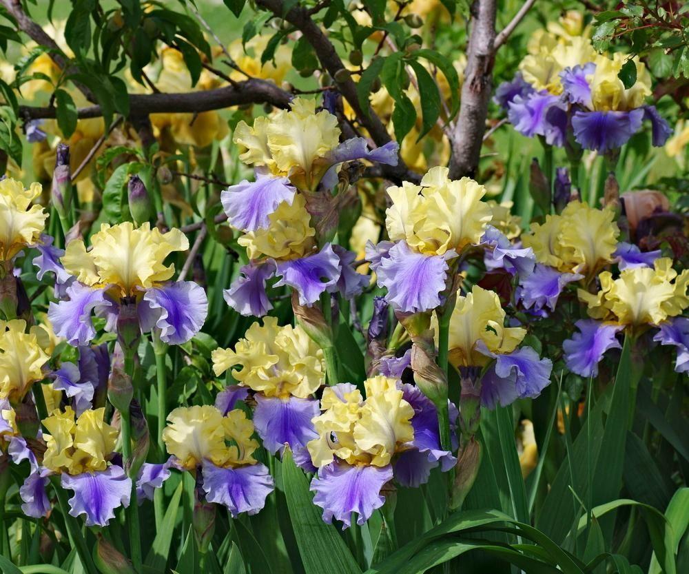 Iris Garden Org Iris Garden Iris Flowers Plants