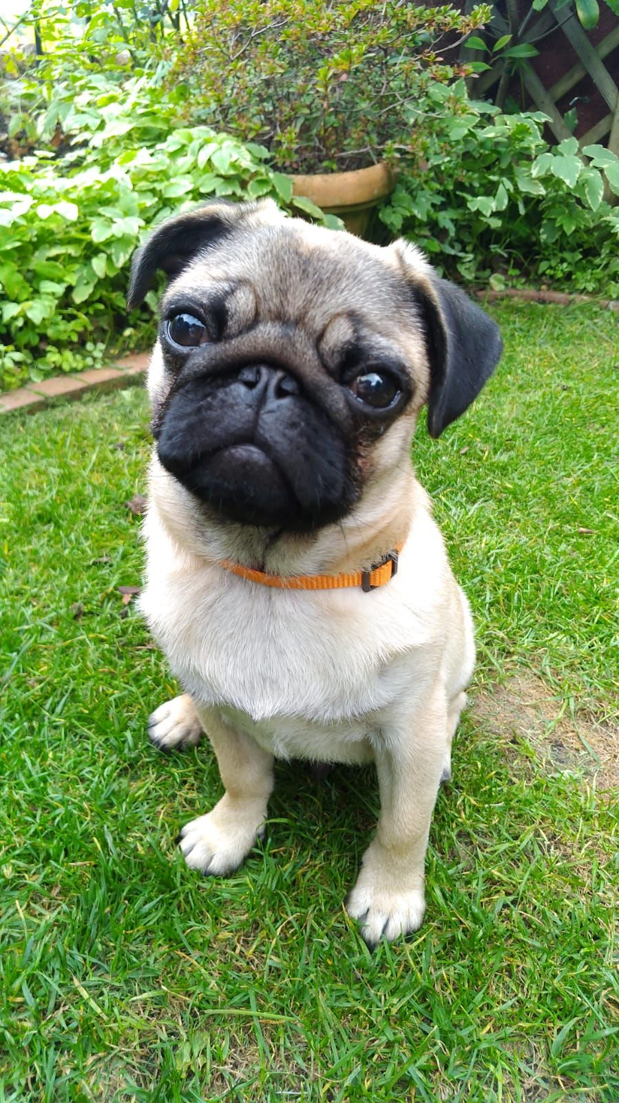 Pin By Melissa On Pug Baby Pug Dog Cute Pugs Cute Baby Animals