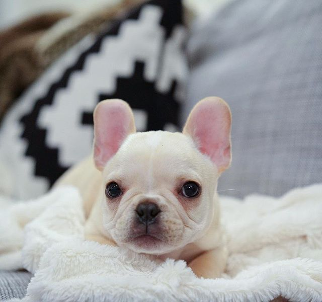 Leo The Frenchie On Instagram I M A Lover Not A Fighter French Bulldog French Bulldog Pictures French Bulldog Puppy