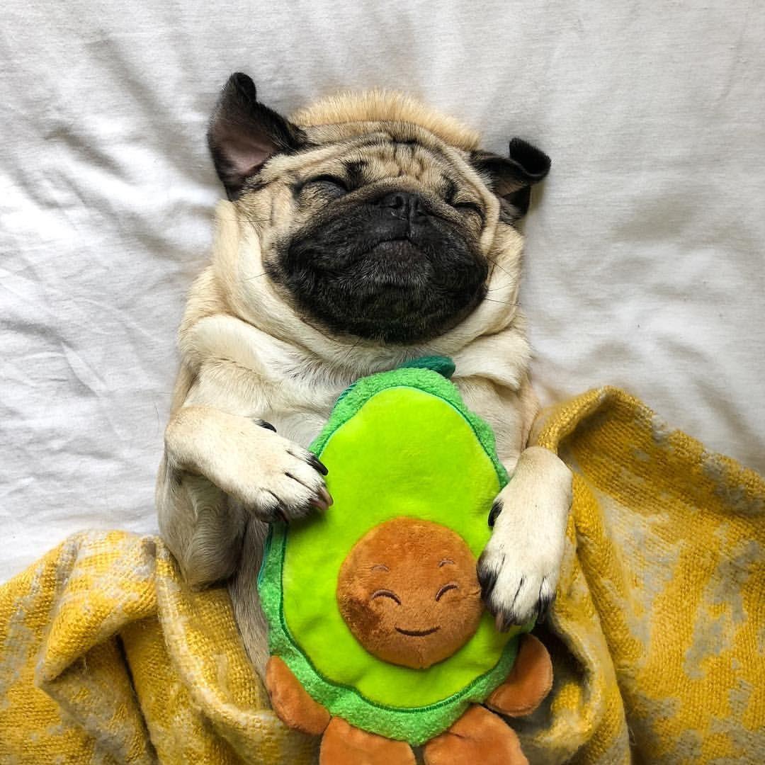 Who Wants To Avocuddle Doug The Pug Itsdougthepug Puppies