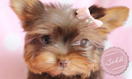 Yorkie Puppies And Teacup Yorkies For Sale In South Florida