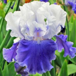 Tall Bearded Iris Iris Sierra Grande In The Irises Database All Things Plants Iris Growing Irises Bearded Iris