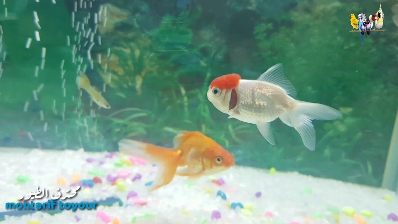 عندما نقوم بخلط صوت خرير المياه مع صوت طيور البادجي والكناري نتحصل عل هذ Fish Pet Pets Animals