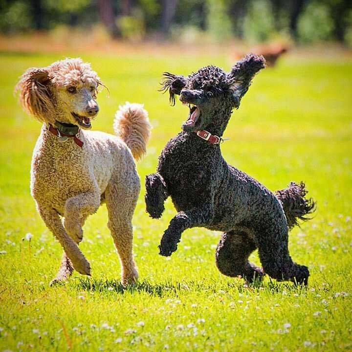 Susie Rhonda Poodle Dogs Mans Best Friend