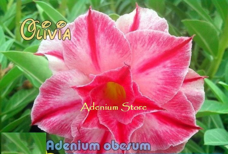 Perennial Bonsai Seeds Adenium Obesum Desert Rose CX Super Moon 5