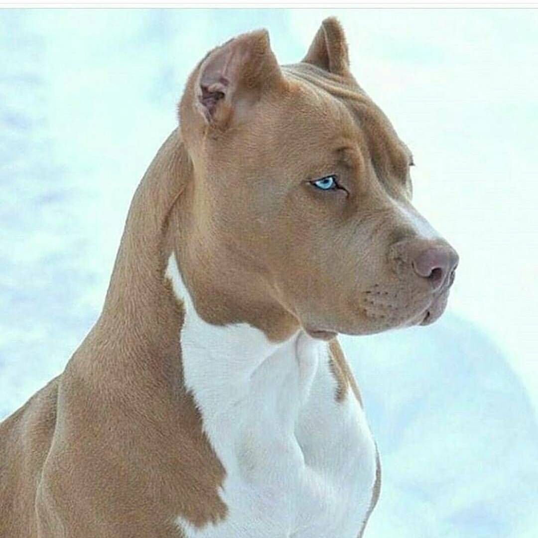 Pitbull With Blue Eyes Silver Pitbull With Blue Eyes Would He Be
